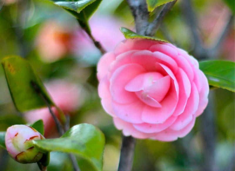 ピンクの椿の写真4