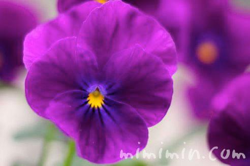 パンジーの花の写真&花言葉の画像