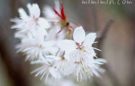 桜 シナミザクラの花の写真(白)