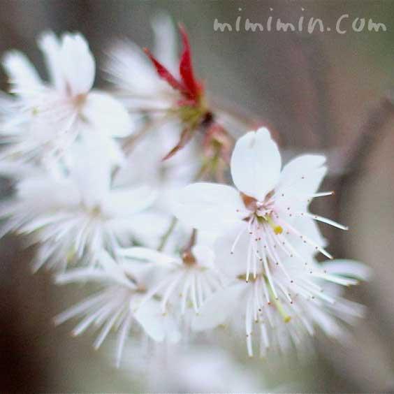 桜(シナミザクラ)の画像
