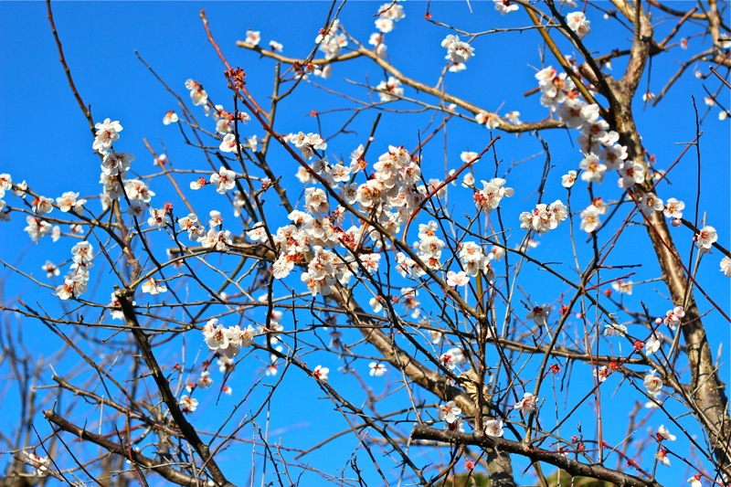 梅の花の写真4