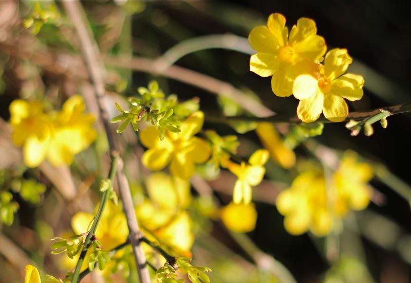 春の黄色の小花の写真2