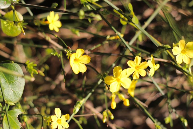 春の黄色い小花の画像