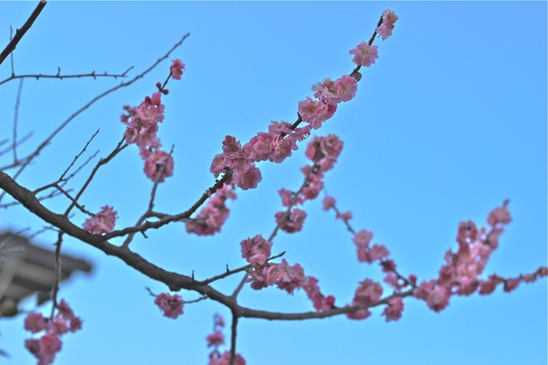 梅の花の写真5