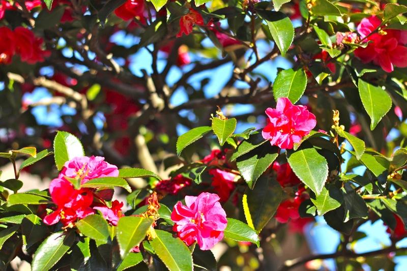 山茶花の写真2