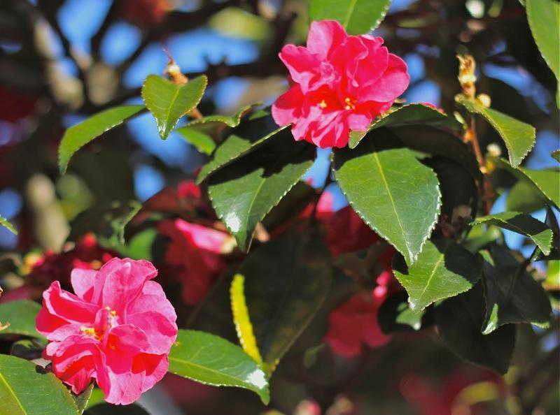 山茶花の写真1