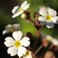 春の白い花の画像