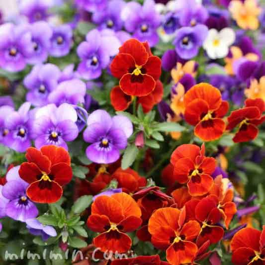 パンジー(赤・紫)の画像