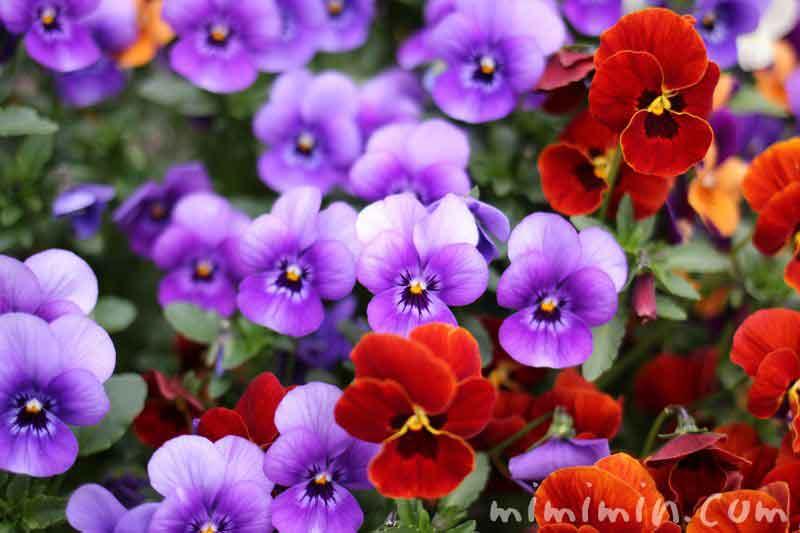 パンジーの花(赤・青)の写真
