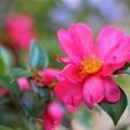 山茶花の写真3