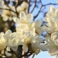 白木蓮の写真