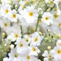 白のサクラソウの写真
