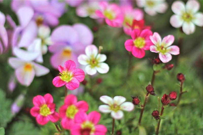 春のピンクと白の小花の写真