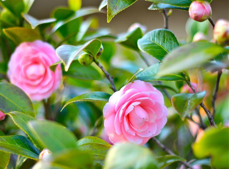 ピンクの椿の写真6
