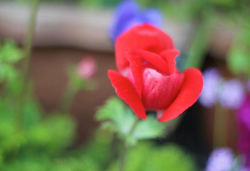 アネモネ赤の写真