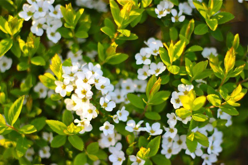 白い小花の写真