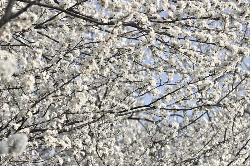 白い桜の写真