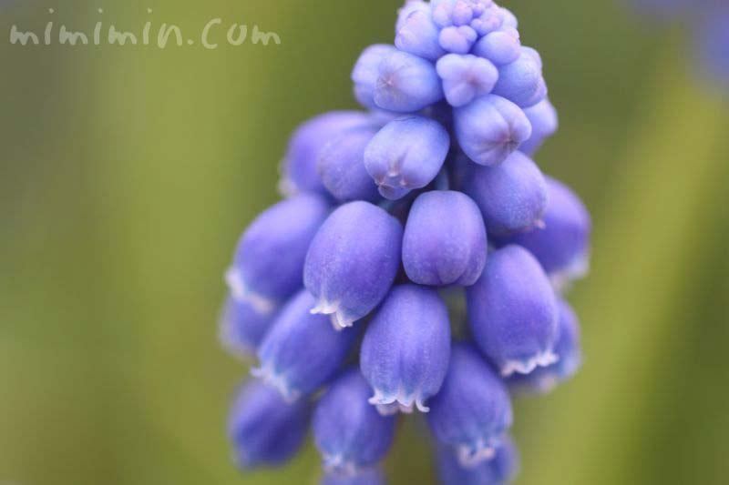 ムスカリの花言葉の画像