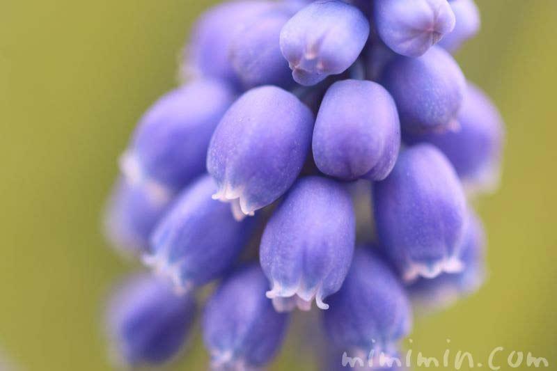 青いムスカリ