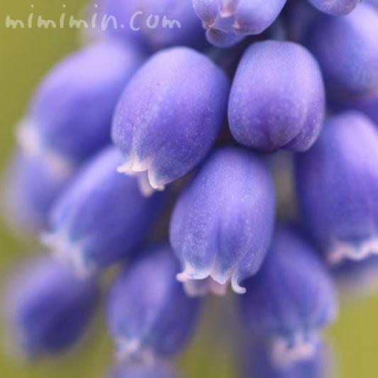 ムスカリの花言葉と誕生花