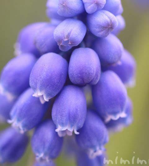 ムスカリの花言葉・誕生花|ムスカリの花の写真