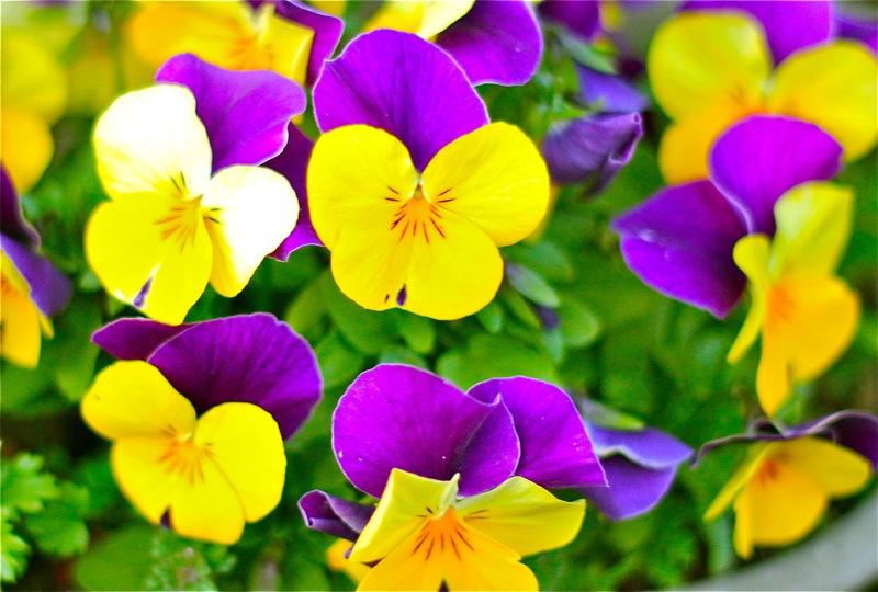 パンジーの写真・紫×黄色