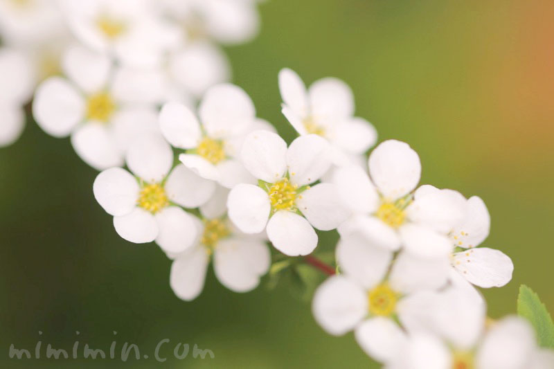 白い雪柳の花の写真と花言葉