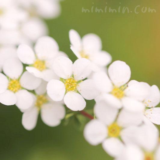 ユキヤナギ(白)の花の写真と花言葉