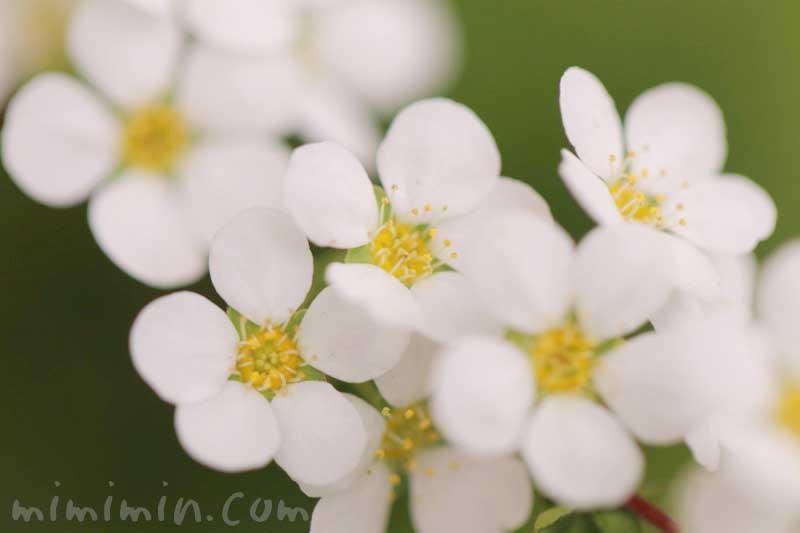 ユキヤナギ(白)の写真と花言葉