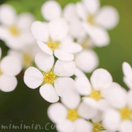 白い雪柳の写真と花言葉の画像