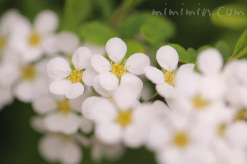 白い雪柳の花の写真と花言葉と誕生花