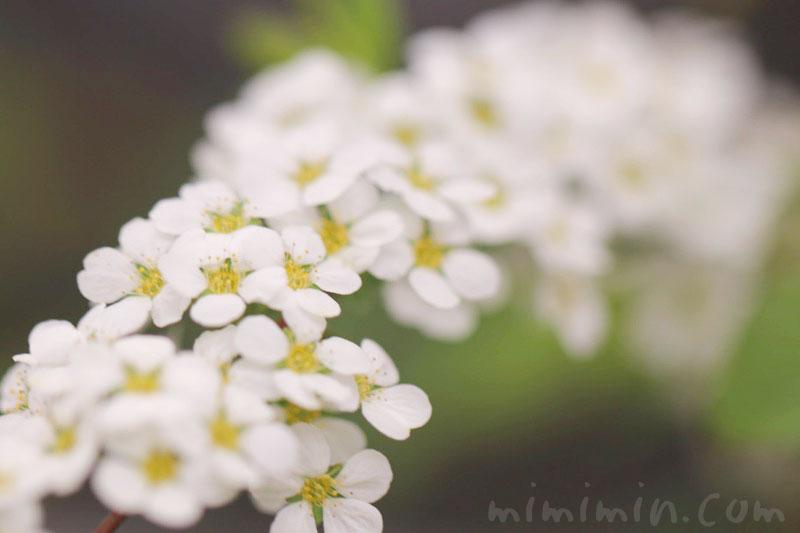 ユキヤナギ(白)の花の写真と花言葉の画像