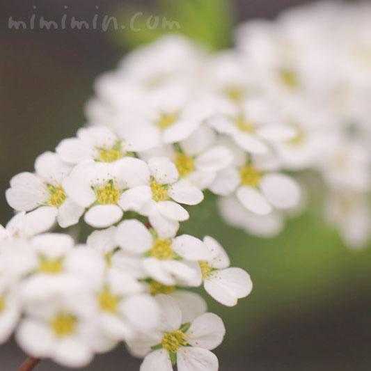 白い雪柳の花の写真と花言葉の画像