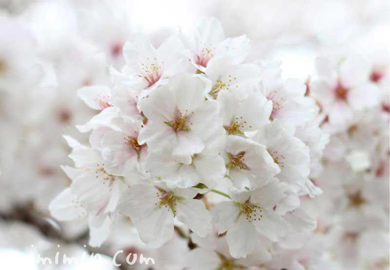 お花見・桜の写真