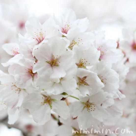 お花見・桜・ソメイヨシノの画像