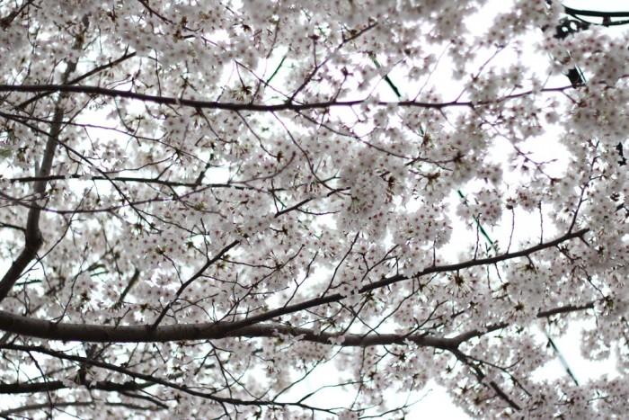 満開の桜のアップ写真4