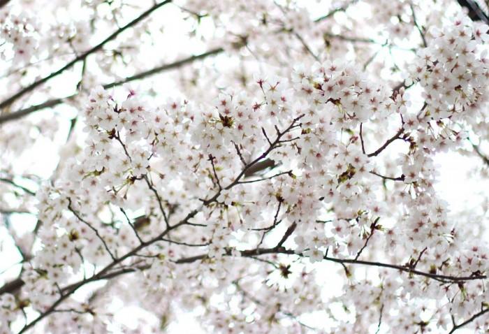 満開の桜のアップ写真2
