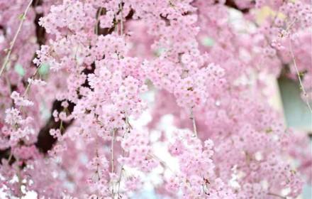 枝垂れ桜の画像