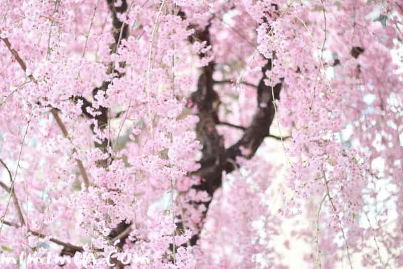 シダレ桜の写真