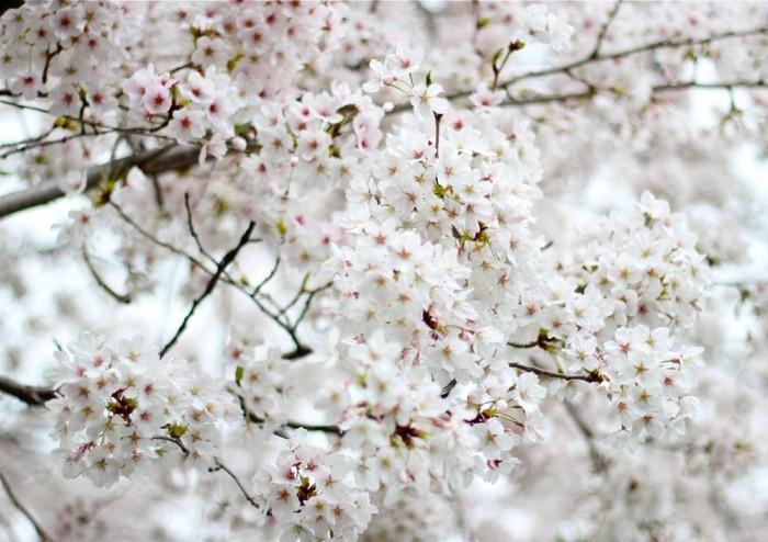 満開の桜のアップ写真