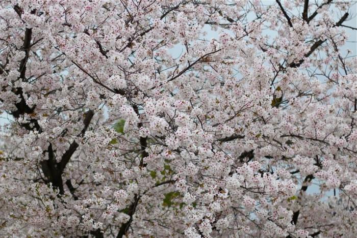 満開の桜の写真5