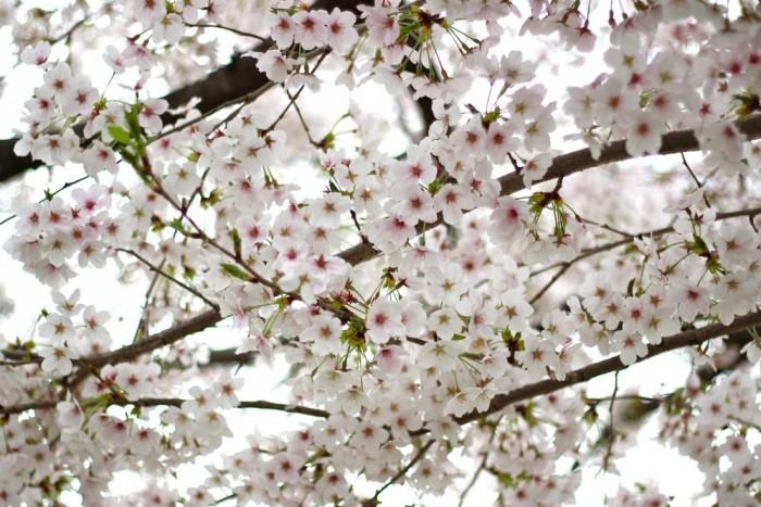 満開の桜のアップ写真3