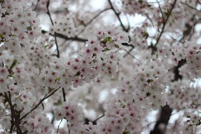 満開の桜のアップ写真7