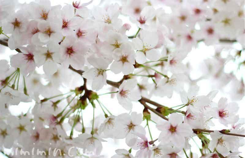 お花見・ソメイヨシノの写真