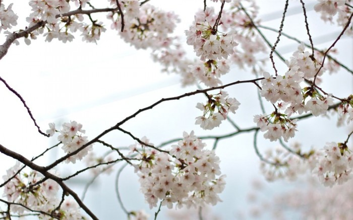 満開の桜の画像6