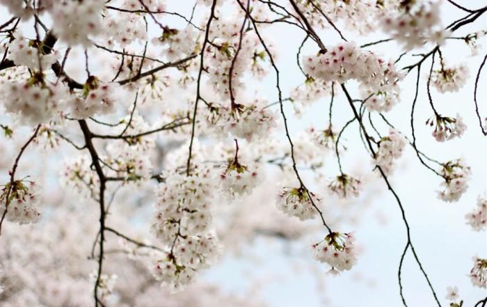 満開の桜の画像4