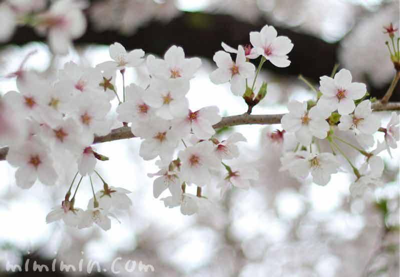 桜・サクラの画像