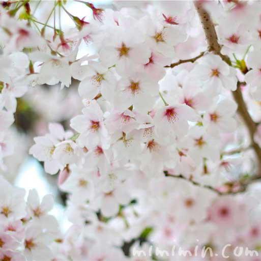 満開の桜・サクラの画像