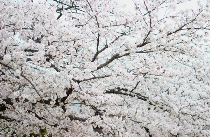 満開の桜の写真2