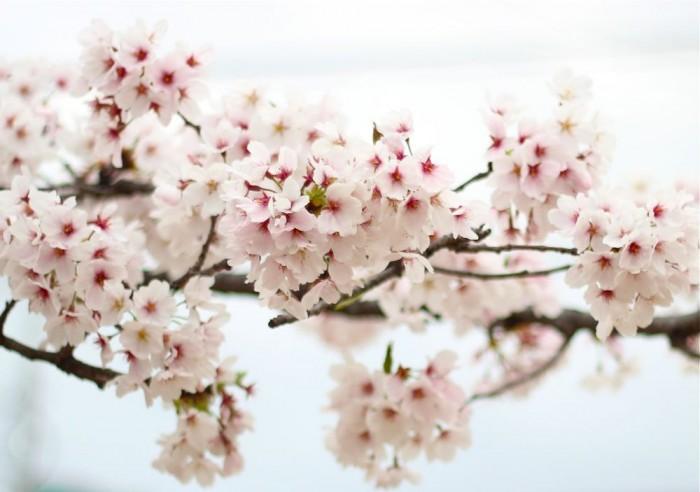 満開の桜の枝2